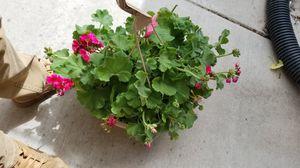 Calliope geraniums for Sale in West Jordan, UT