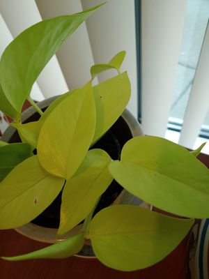 Golden Neon Philodendron Come With Nice Pot for Sale in Tumwater, WA