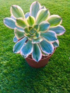 Sunburst Succulent Plant for Sale in Escondido, CA