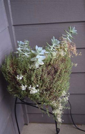 Succulent plant with pot for Sale in Mill Creek, WA