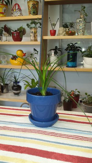Live plant in royal blue pot with saucer. for Sale in Tacoma, WA