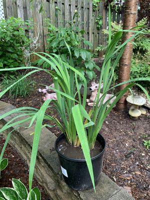 Purple Iris plant for Sale in Annandale, VA