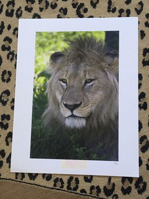 Large lion photo unmatted for Sale in Bethel, CT