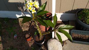 Plumerias Yellow for Sale in Covina, CA