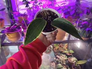 Hoya Macrophyllum for Sale in Riverside, CA