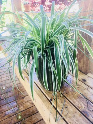 Live indoor Spider house plant in a tall textured green ceramic planter flower pot—firm price for Sale in Seattle, WA