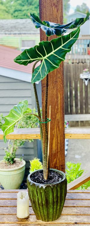 Live indoor tall Alocasia Sarian plant in a ceramic textured planter flower pot—firm price for Sale in Seattle, WA