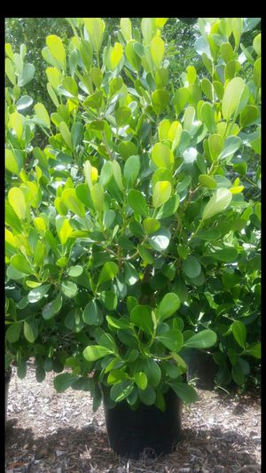 HUGE CLUSIA PLANTS FOR SALE! BEST PRICE IN TOWN! for Sale in Miami, FL