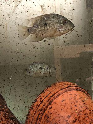 Texas Cichlids for Sale in Des Plaines, IL