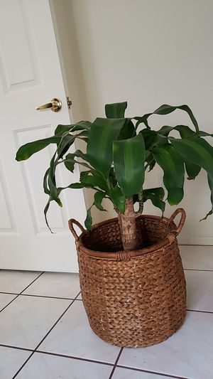 Plant with wicker basket for Sale in Las Vegas, NV