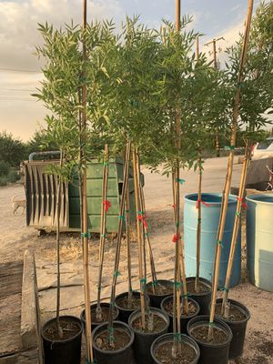 Ray wood ash trees for Sale in Fresno, CA