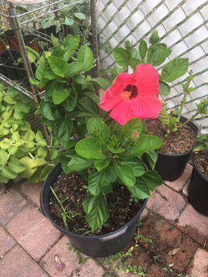 Hawaiian Red Hibiscus for Sale in Kissimmee, FL
