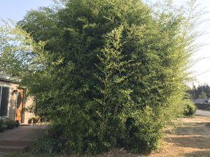 Free bamboo for Sale in Brush Prairie, WA