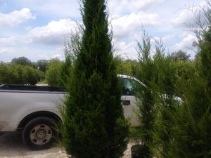 Cedar trees delivered and planted 10 foot tall for Sale in Tampa, FL