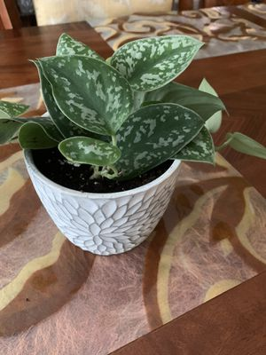 Silver Queen pothos for Sale in Murphy, TX