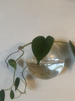 Small Pothos In Glass Jar for Sale in San Diego,  CA