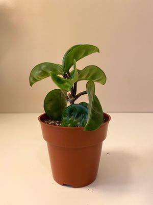 "Hoya Krinkle 8 Indoor Plant 4"" for Sale in Downey, CA"