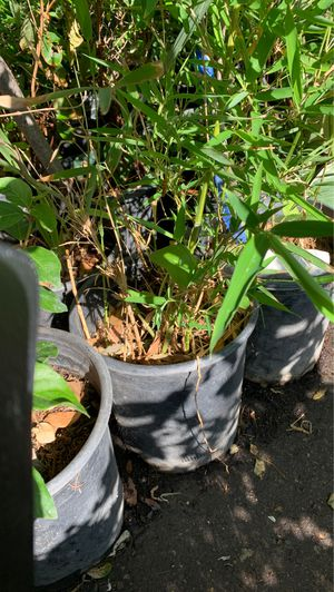 Bamboo plant 5 gal for Sale in Modesto, CA