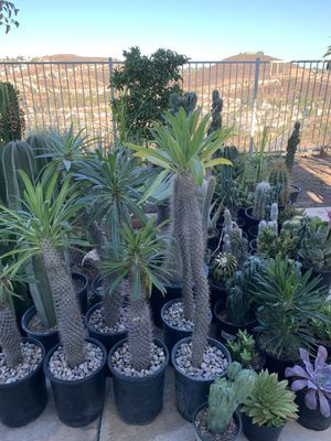 Wide variety of cactus and succulent plants for Sale in Spring Valley, CA