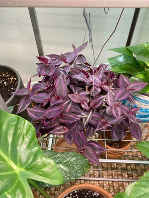 Plant for Sale in Lake Forest, CA