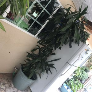 Over 6ft Plant with Ceramic Blue Pot for Sale in Fountain Valley, CA