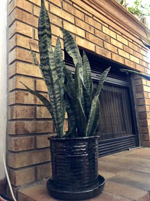 """Live """"Snake"""" plant (27"""" tall) in a beautiful contemporary 8"""" ceramic pot for Sale in Las Vegas, NV"""