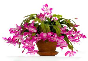 Thanksgiving Cactus Plant Seeds for Sale in Rochester Hills, MI