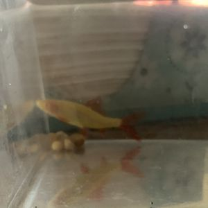 Free Glo Shark for Sale in Norman, OK