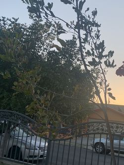 Free Tree for Sale in Los Angeles,  CA