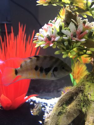 African Chiclids for Sale in Hudson, NH