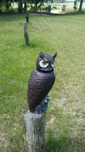 Owl for Sale in Ailey, GA