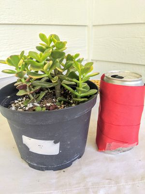 """Variegated Jade Succulent Plants in 6"""" Plastic Pot-Real Indoor House Plant for Sale in Auburn, WA"""