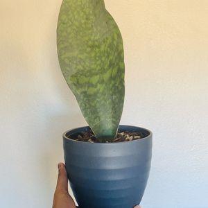 "6"" Whale Fin Sansevieria + Cute Ceramic Pot for Sale in Tempe, AZ"