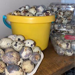 Quail Eggs for Sale in Delano,  CA