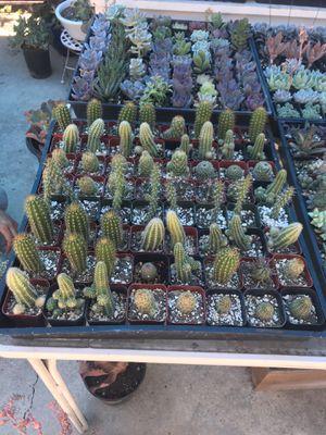 Cactus for Sale in West Covina, CA