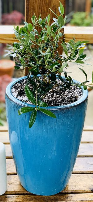 Live indoor or outdoor Olive Tree plant in a Le Beau ceramic planter pot—firm price for Sale in Seattle, WA
