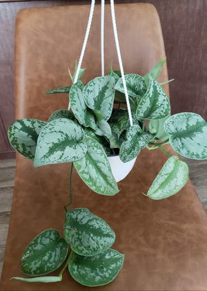 Hanging Silver Satin Pothos for Sale in Burlington, WA