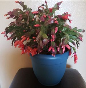 Christmas cactus 🌵 plant 🌿 for Sale in Spanaway, WA