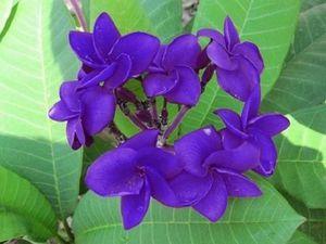 Plumeria Hybrid Full Violet for Sale in Tampa, FL