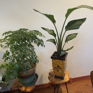 Beautiful China Doll And And Elegant White Bird Of Paradise for Sale in Aurora, CO