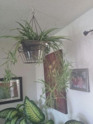 Spider nice big Plant has a lot of baby's 0 for Sale in Aurora, CO