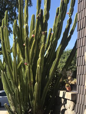 Large Flowering Peruvian cactus 8-20 feet cactus fruit/ flower for Sale in Monrovia, CA