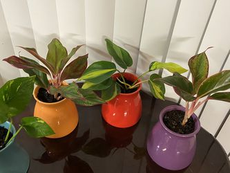 Aglaonema Chinese Plants for Sale in Tigard,  OR