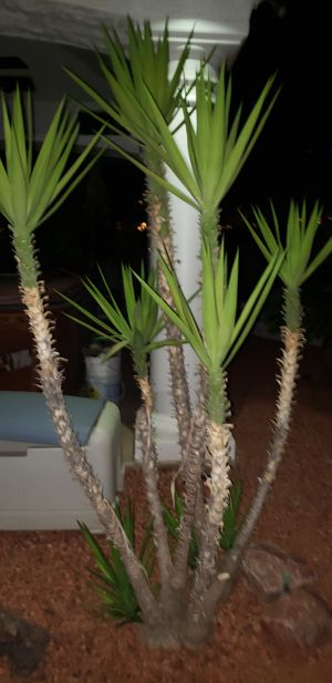 Yucca plants trees shrub for Sale in Mesa, AZ