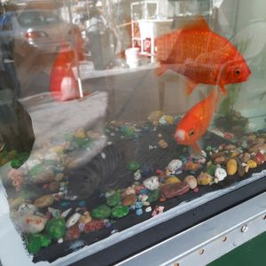 Gold Comat 3 Fish,,,Filter, 10 Gallon Tank for Sale in Hawthorne, CA