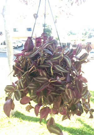 Hanging plants for Sale in Spring Valley, CA