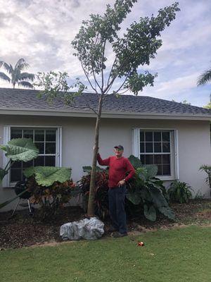 16' Field grown gumbo limbo tree for sale for Sale in FL, US