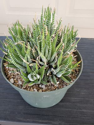 Healthy Cactus for Sale in Phoenix, AZ