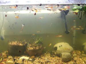 For sale fancy guppies for Sale in Victorville, CA