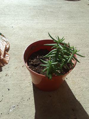 Planta suculenta for Sale in Fresno, CA